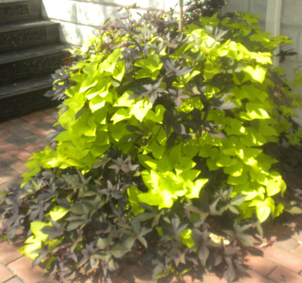 Potato Vine